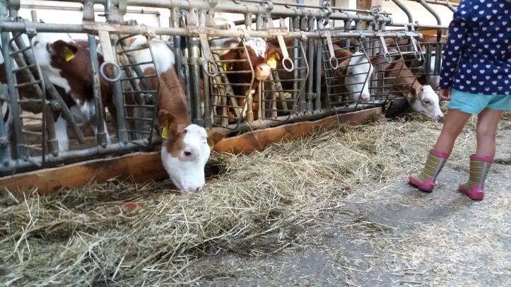 Kühe am Chiemsee mit BestFewo